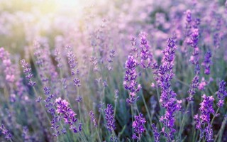 Lavender: A Beautiful and Versatile Herb