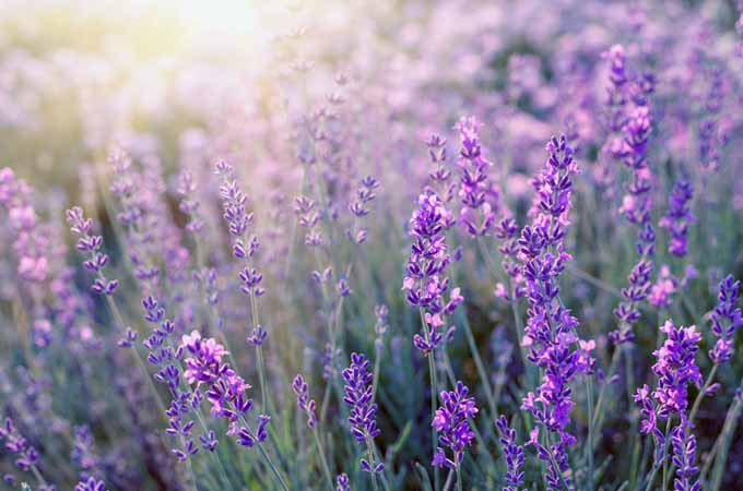 Lavender- A Beautiful and Versatile Herb | Foodal.com