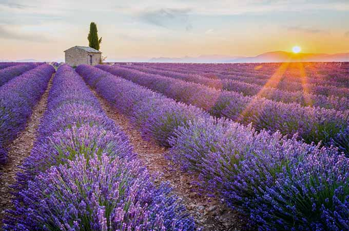 Lavender Field at Sunset | Foodal.com