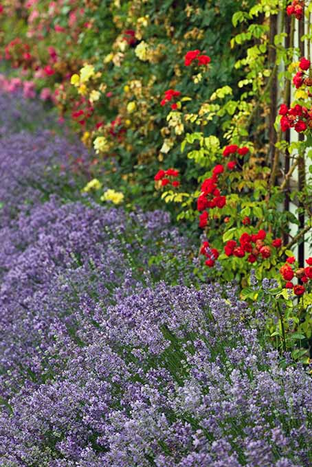 Lavender as a Garden Border | Foodal.com