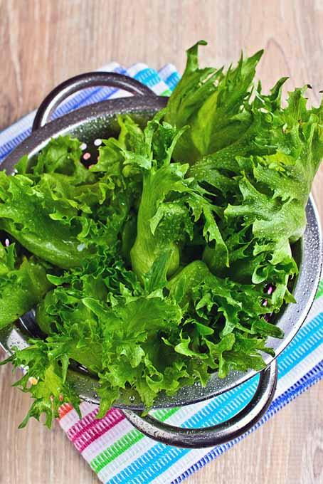 Lettuce in a Colander | Foodal.com