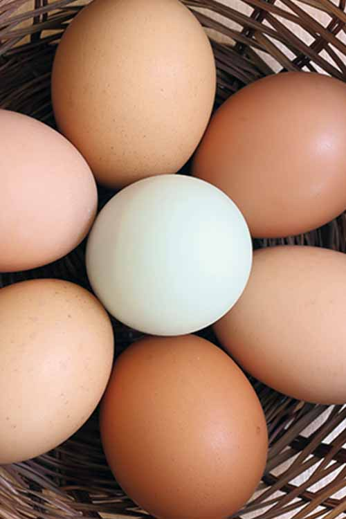 Do you believe that brown eggs, with their deep yellow yolks, are nutritionally superior to white ones? Eggs come in a surprising array of colors, but there's a lot of misinformation about which color offers the best nutrition. Read more now on Foodal. https://foodal.com/knowledge/paleo/what-color-eggs-are-best/