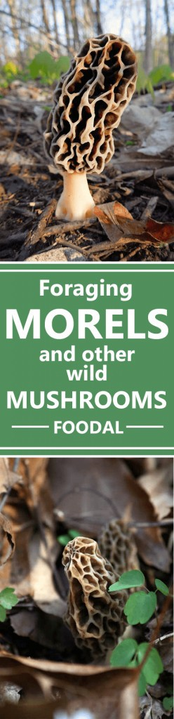 It's morel season! Will you forage for morels or cook with them this spring? If you're confident and ready to get a bit wild, you don't need an expert – as long as you're armed with good information. Learn all about foraging, identifying species, cooking, and even the health benefits of the mushroom, plus info on two more of our other favorite gourmet wild varieties. Read on to explore this great beginner's guide from Foodal. https://foodal.com/knowledge/paleo/morels-and-wild-mushrooms/