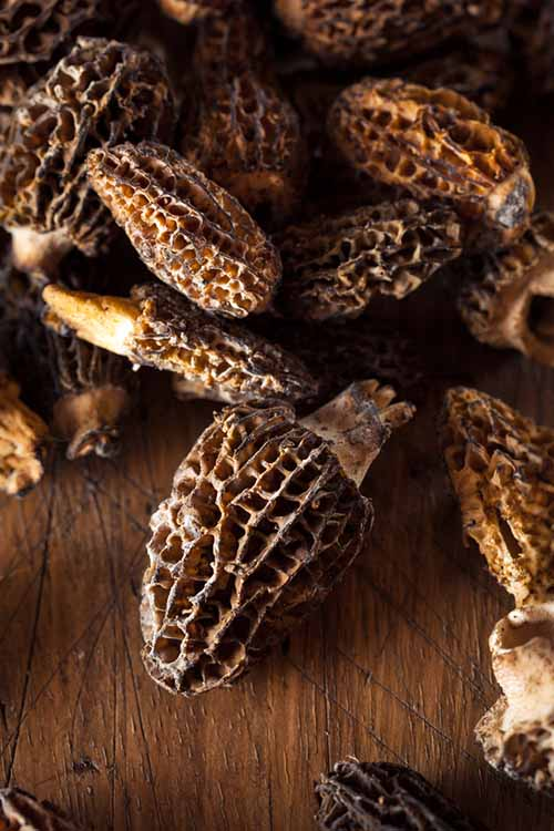 Learn all about foraging, identifying species, cooking and preservation, and even the health benefits of the mushroom, plus info on two more gourmet wild varieties. Read more on Foodal: https://foodal.com/knowledge/paleo/morels-and-wild-mushrooms/