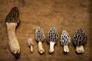 Foraging Morels & Other Springtime Wild Mushrooms