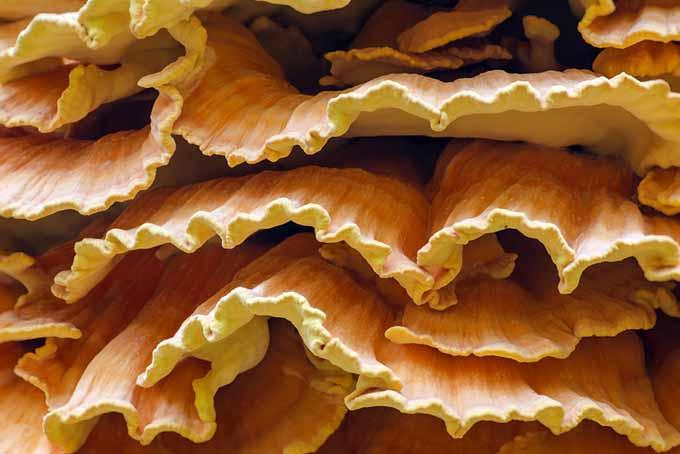 Sulphur Shelf Mushroom | Foodal.com
