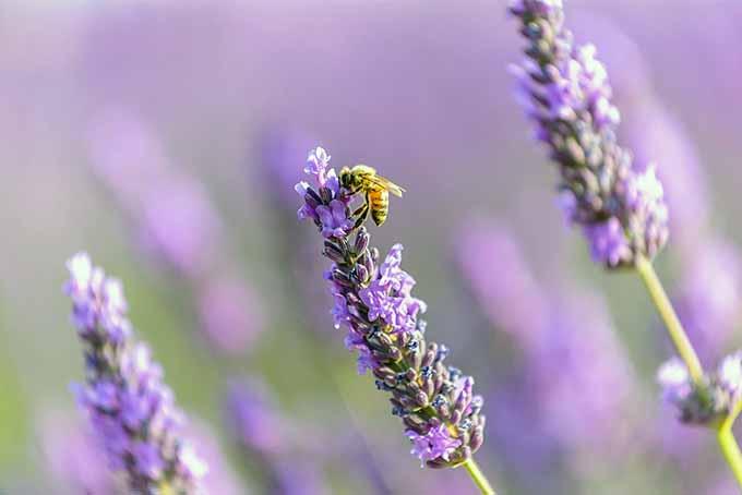 Bees Love Lavender | Foodal.com