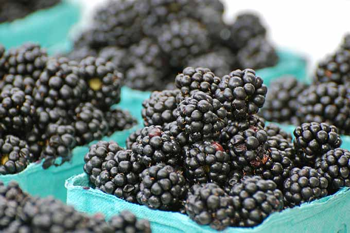 Baskets of Blackberries | Foodal.com