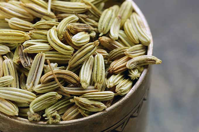 Culinary & Medicinal Uses of Fennel Seed | Foodal.com