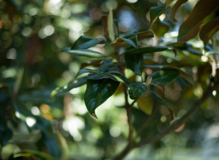 magnolia leaves in nashville