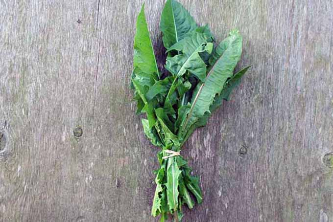 Bunched Dandelion Cooking Greens | Foodal.com