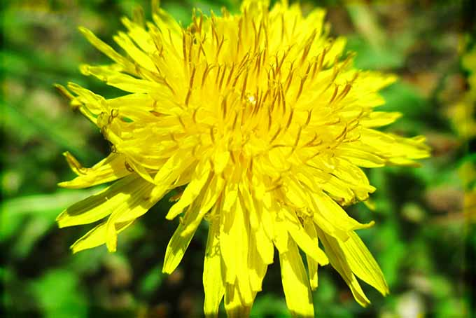 Dandelion Flower Closeup | Foodal.com