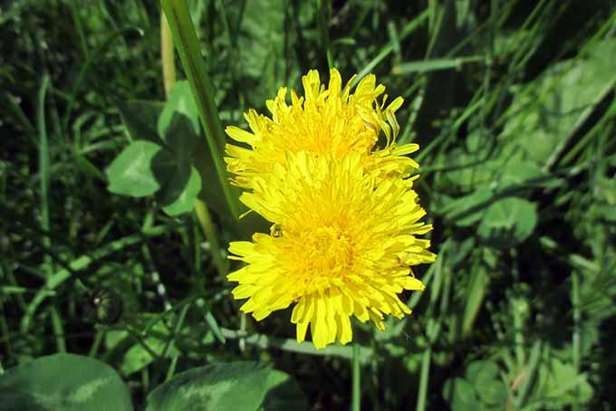 Dandelion Flowers | Foodal.com