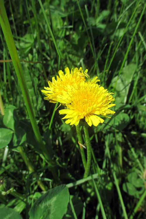 We all love to hate dandelions - but did you know you could forage and cook its greens? Learn all the how-to's here at Foodal: