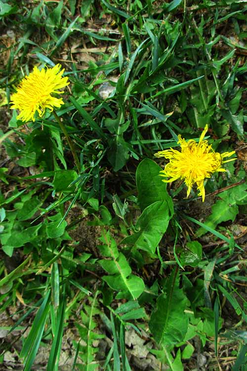 Dandelion Plants with Flowers | Foodal.com