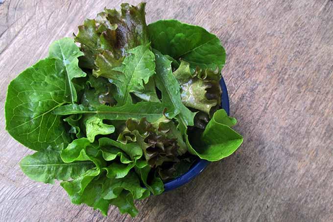 Dandelion Greens Salad | Foodal.com