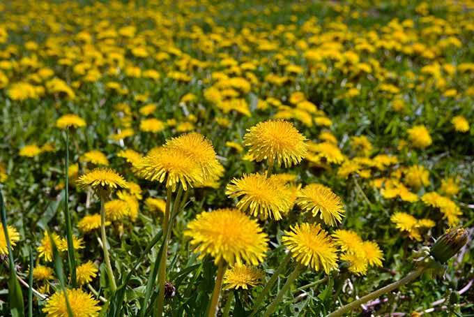 Swarm of Dandelions | Foodal.com