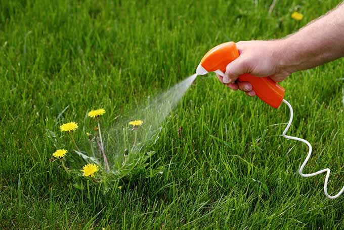 Spraying Dandelions | Foodal.com