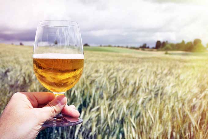 Beer and Barley Field | Foodal.com
