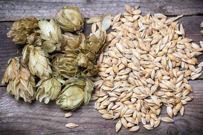 Hops and Malt | Foodal.com