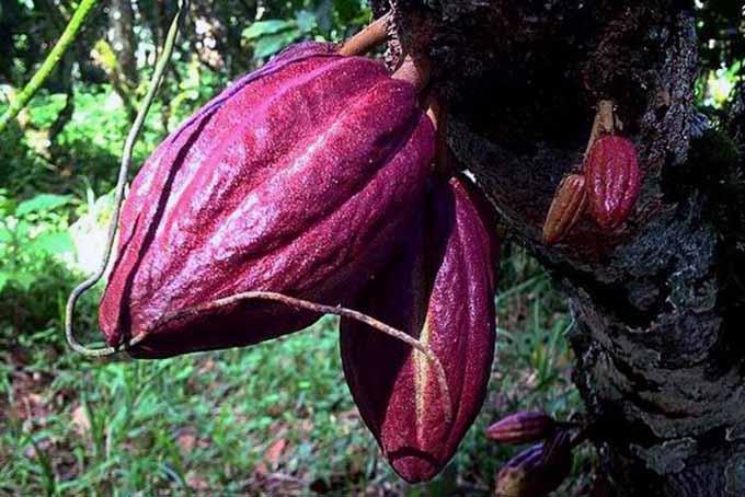 Cacao Pods | Foodal.com