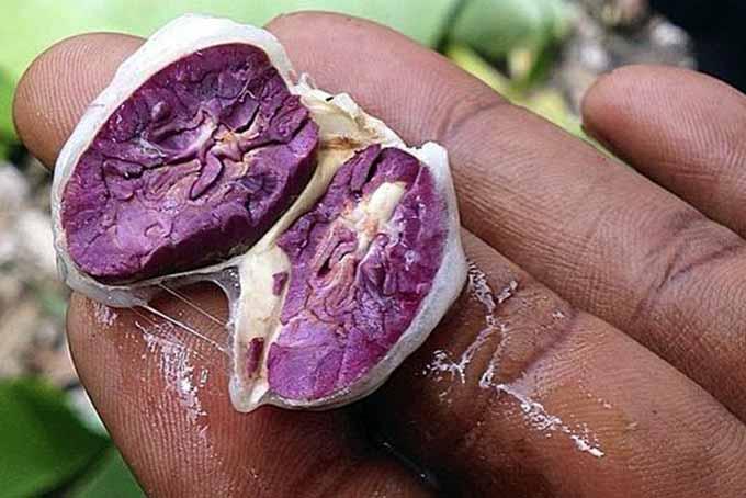 Cacao Seed | Foodal.com