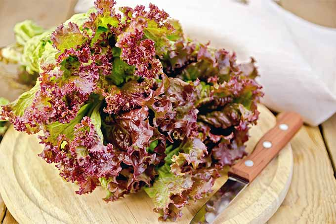 Red Leaf Lettuce and Knife | Foodal.com