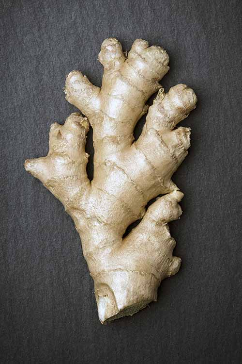 We share the best tips for choosing, storing, and prepping fresh ginger: https://foodal.com/knowledge/how-to/store-fresh-ginger/