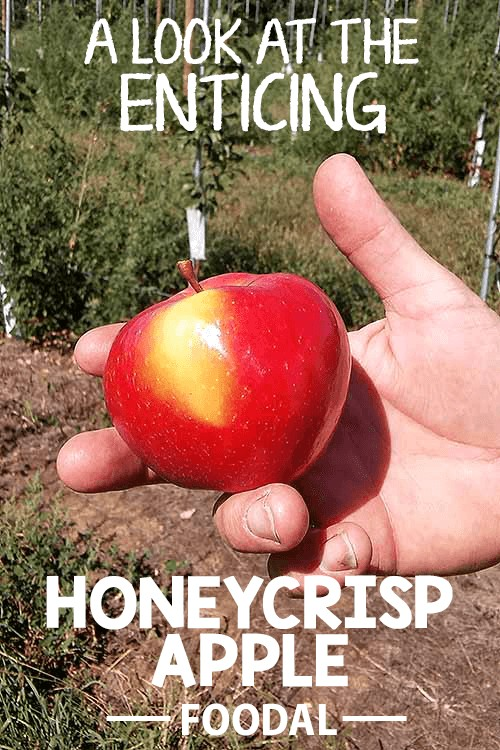 What's the story behind the juicy Honeycrisp, fall's most sought-after apple? Get all the answers here! Foodal checked in with a Pennsylvania fruit farmer to get the full story on why crunchy, delicious Honeycrisps are the most buzzed-about apple variety every autumn. Read more now. https://foodal.com/knowledge/paleo/honeycrisp-apple/