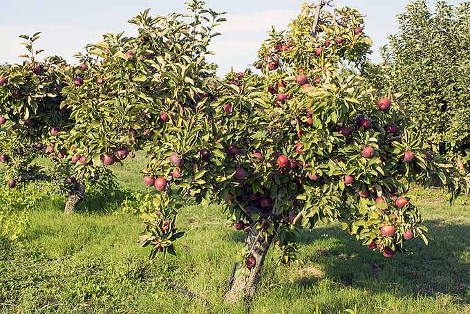 Black Arkansas Apples | Foodal.com