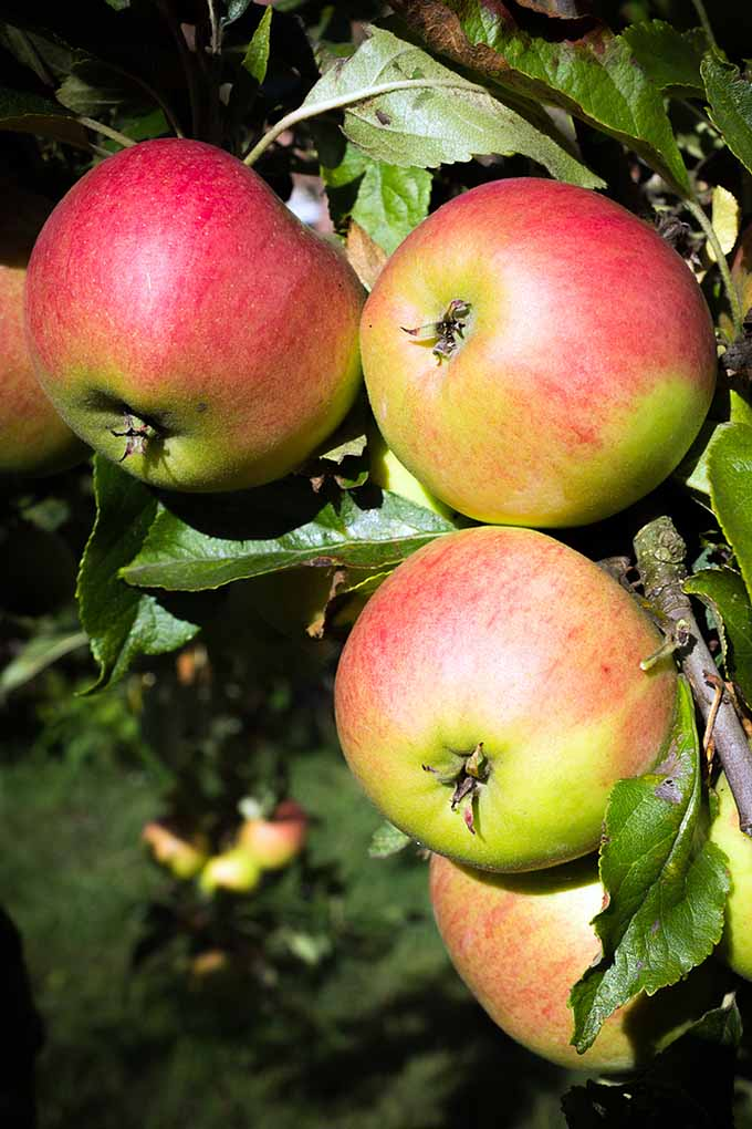 Are all apples the same? Think again! Each variety has its own different history, and was bred for different culinary purposes. Learn which apple to pick for your needs, whether its for cooking, baking, raw, and more: https://foodal.com/knowledge/paleo/choose-the-right-apple/