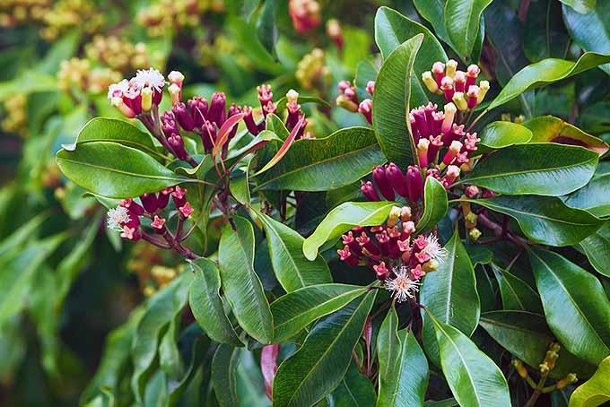 Clove Flowers | Foodal.com