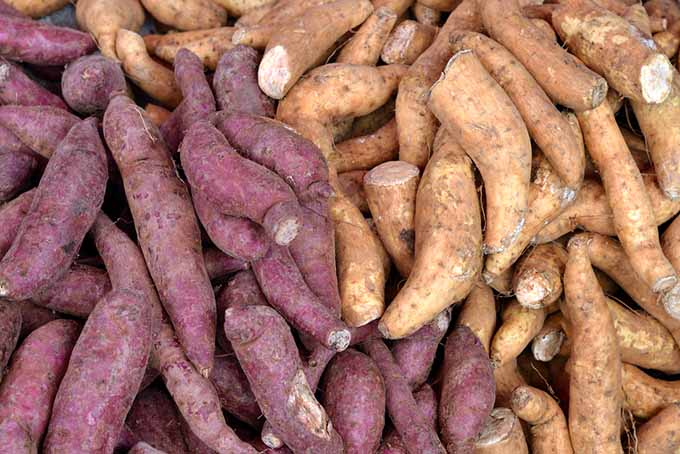 Different Sweet Potato Varieties | Foodal.com