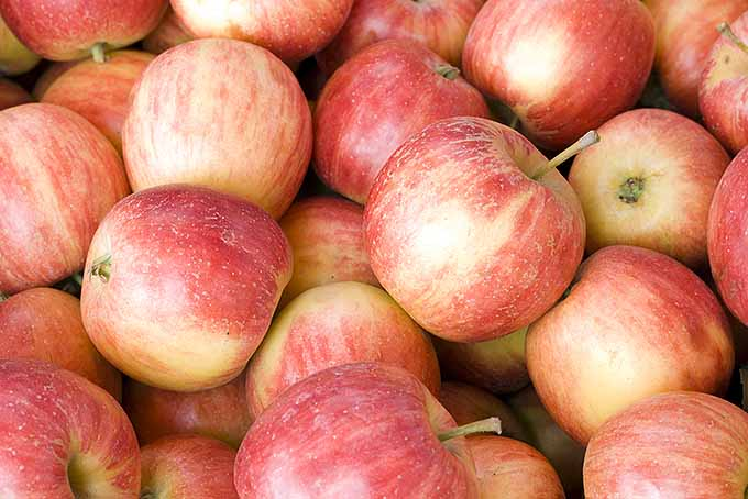 Fuji Apples | Foodal.com