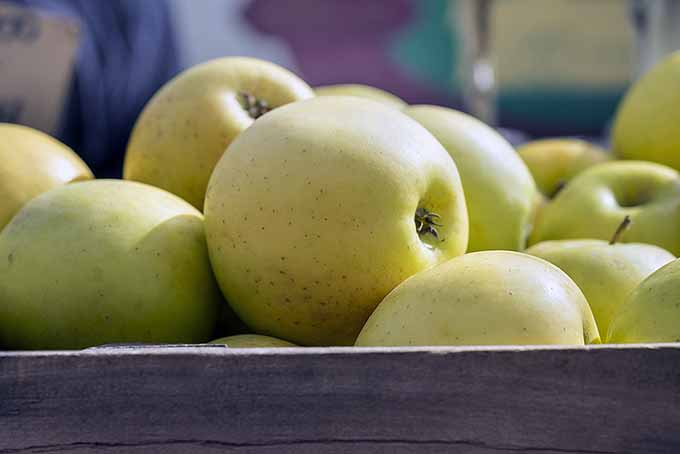 Golden Delicious Apples | Foodal.com