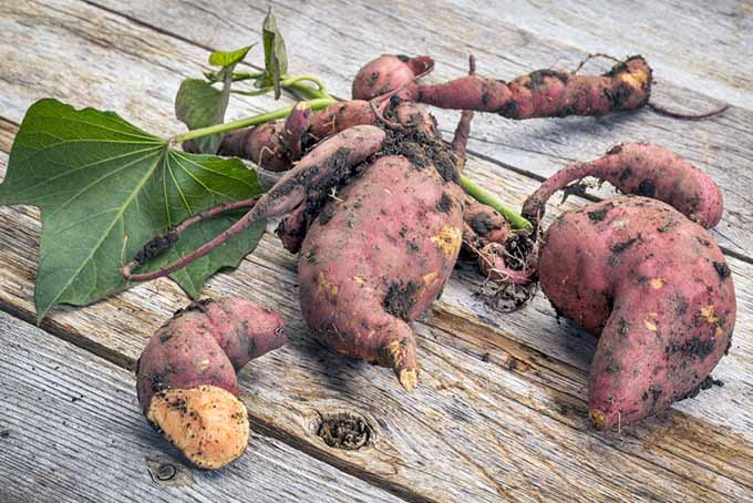 Harvested Sweet Potato Roots | Foodal.com