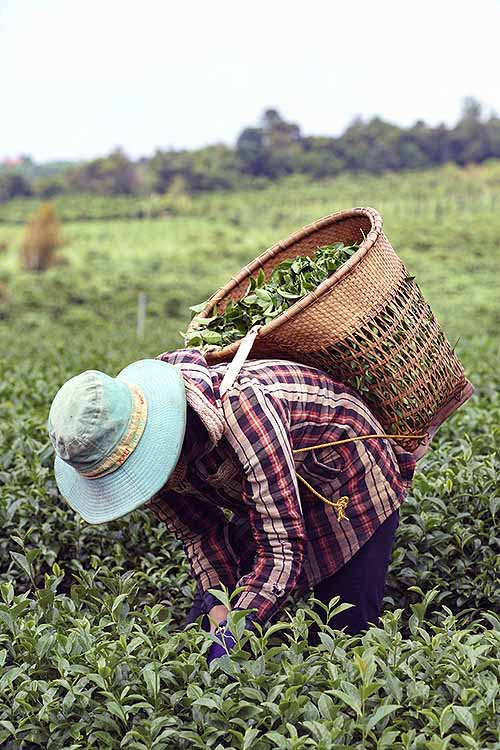 Black tea is exceedingly popular and green tea is known for its health benefits. But how much do you know about white tea? It's time to learn! Read more: http://foodal.com/drinks-2/tea/white-tea/