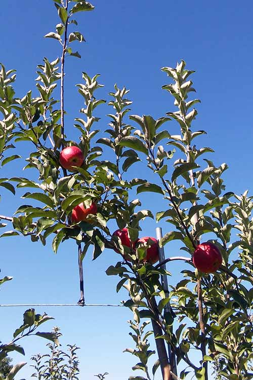 Learn all about pick-your-own honeycrisp apples, straight from the orchard: https://foodal.com/knowledge/paleo/honeycrisp-apple/