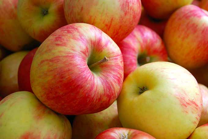 Honeycrisp Apple | Foodal.com