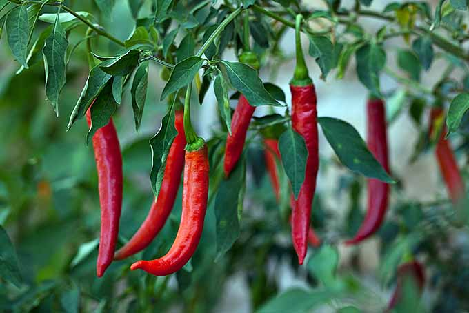 Hot Pepper Plant | Foodal.com