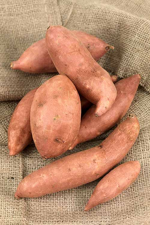 The unassuming, delicious sweet potato. Where did it come from? There is so much to learn about this baked potato rival! Get the skinny on this lip-smacking side dish veggie right here, from storage tips to nutritional tidbits: http://foodal.com/knowledge/paleo/everything-about-sweet-potato/
