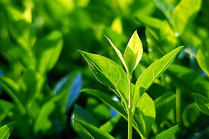 White Tea Plant | Foodal.com