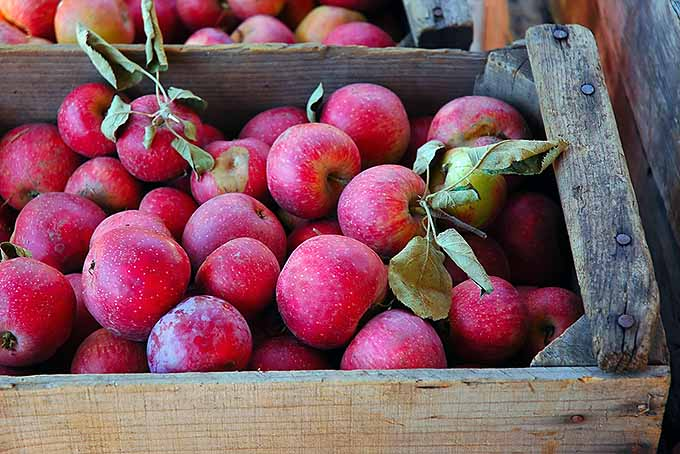 Winesap Apples | Foodal.com