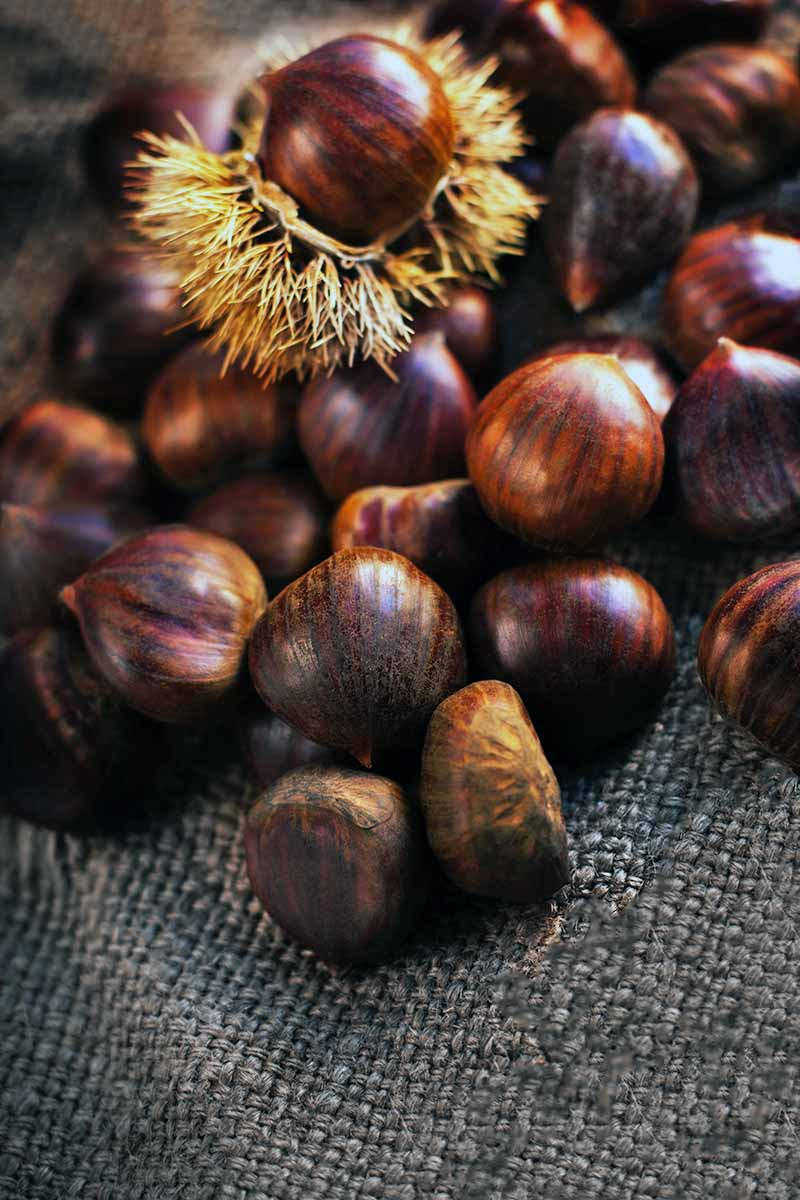 Vertical shot of one chestnut in its spiny yellow husk resting on a pile of more with shiny brown shells, o a rough piece of gray cloth.