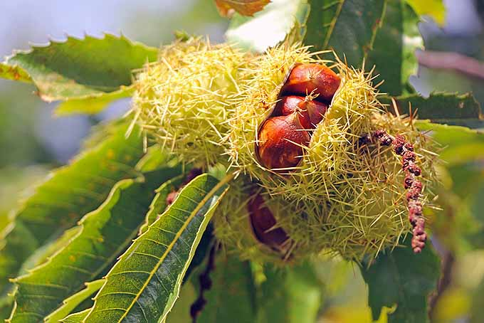 Chestnut Growing on a Tree | Foodal.com