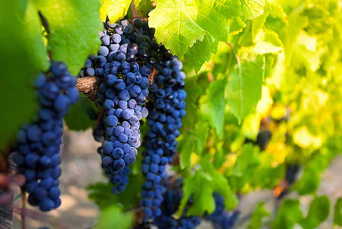 Grapes for Heart Health | Foodal.com