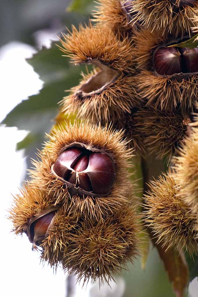 What's the best way to eat chestnuts? Well, the recipe can be found in your favorite Christmas tune: roasting them! Learn the amazing history and origins of roasted chestnuts and why you should enjoy these as a treat this winter: https://foodal.com/holidays/christmas/roasted-chestnuts-a-globally-beloved-winter-treat