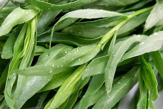 Beautiful fresh tarragon leaves. | Foodal.com