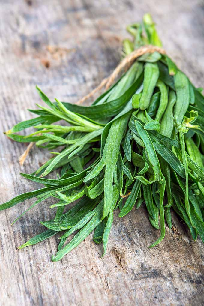 Learn about the health benefits, flavor profile, and culinary uses of the herb tarragon on Foodal now: https://foodal.com/knowledge/herbs-spices/french-tarragon/