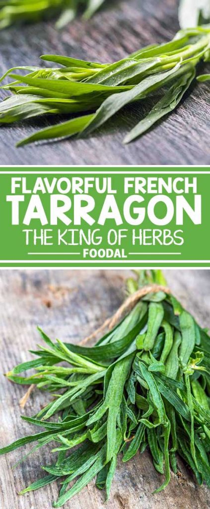 A favorite among French chefs, tarragon has a distinctive flavor and fragrance that's reminiscent of anise. Delicious in sauces and condiments, it's also a natural for fish, poultry, eggs, and vegetables – and beverages, too! Find out all you need to know about this royal herb right here on Foodal!